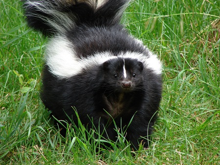 All skunks are omnivores, and will feed on almost anything in your Tucson sod lawn.