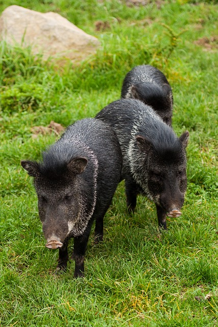 Wild boars, also known as wild hogs, often dig and root holes in Tucson sod lawns and gardens